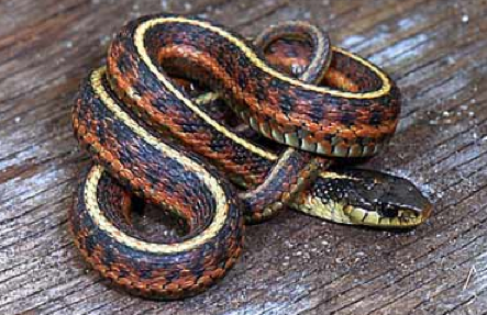 They Mostly Do Not Bite, And Even If They Do, They Do Not Have Fangs Like  Rattlesnakes And Cobras. Until Recently Scientists Thought Garter Snakes  Werenu0027t ...