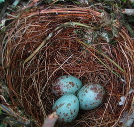 Northern Mockingbird eggs Miller-cropped