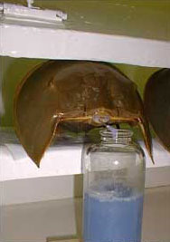 Horseshoe crab blood is blue!